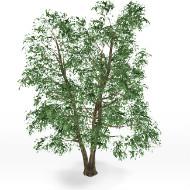 Ulmus tree