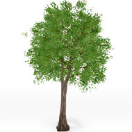 Quercus_small tree