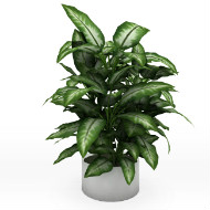 Potted plant dieffenbachia