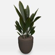 Potted Plant Curculigo Capitulatav