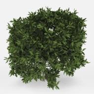 Whitehouse bushes