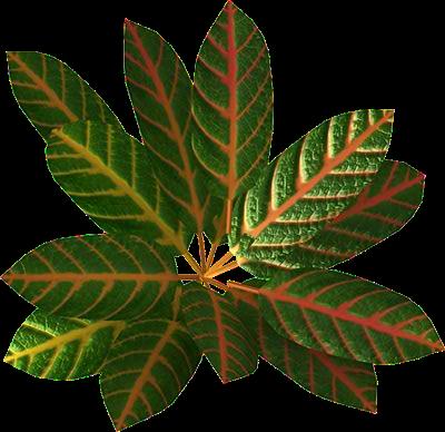 Croton Blossom