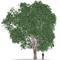 Ulmus Large Tree